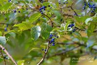 アオゲラ・・・タラノキの実を食べる - フォト エチュード  Photo-Etudes