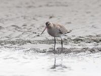 三番瀬のオオソリハシシギ - コーヒー党の野鳥と自然 パート2