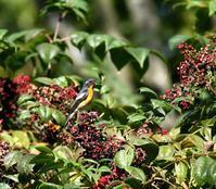 今季ムギマキ♂成鳥は出会いがありません・・・ - 一期一会の野鳥たち
