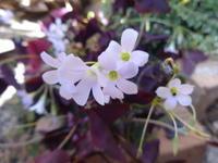紫の舞 - だんご虫の花