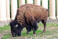 東武動物公園~アメリカバイソン「スティンガー」&「スミレ」とアメリカビーバー - 続々・動物園ありマス。
