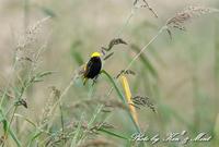 初見♪初撮り♪「オウゴンチョウ」さん♪byミント編 - ケンケン&ミントの鳥撮りLifeⅡ