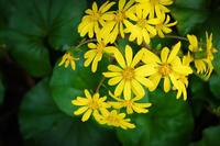 石蕗 - 花と風景 Photo blog
