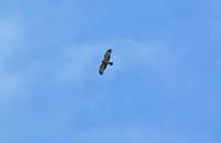 伊良湖岬のハチクマ Oriental honey-buzzard - 素人写人 雑草フォト爺のブログ