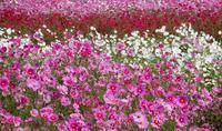 こすもす日和1* beau temps pour admirer les fleurs de cosmos1 - ももさへづり*うた暦*Cent Chants d' une Chouette