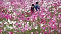 こすもす日和2* beau temps pour admirer les fleurs de cosmos2 - ももさへづり*うた暦*Cent Chants d' une Chouette