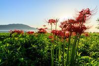 桂浜園地の彼岸花たち - 花景色-K.W.C. PhotoBlog