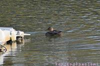 水鳥 - 気ままな生き物撮り