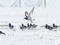 ミヤコドリで賑やか三番瀬 - コーヒー党の野鳥と自然 パート2