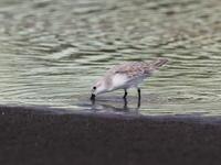 これから越冬しますミユビシギ - コーヒー党の野鳥と自然 パート2
