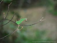 アオバセセリ幼虫の観察:その5(10月中旬) - 探蝶逍遥記
