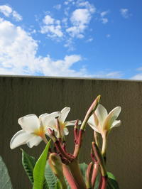 本日のプルメリア❤ - Aloha Kayo-s Style
