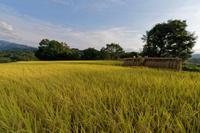 尾根に光る金色の稲穂 - katsuのヘタッピ風景