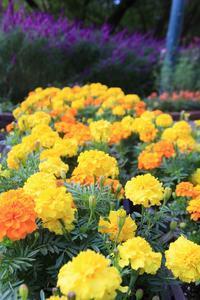 鮮やかな花で彩られたグラウハウス周辺に注目! - 神戸布引ハーブ園 ハーブガイド ハーブ花ごよみ