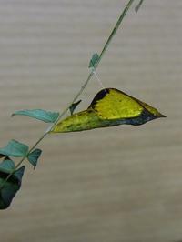 キチョウが羽化した - 見沼の私記Ⅱ