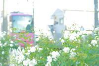 恋は緑の風の中 - 花は桜木、