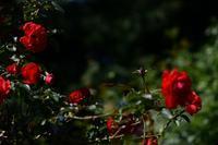真っ赤な薔薇で - 一歩々々 ~いっぽいっぽ~