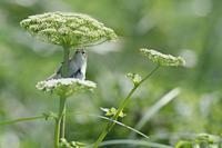 コヨシキリ - 比企丘陵の自然