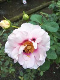 10月の薔薇の作業 - 薔薇のガーデナー Weekend's+Ladybirds
