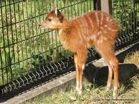 王子シタツンガ アスカさんの赤ちゃん(生後14日目)~成長の一歩 - こらくふぁーむ
