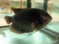 ミトー名物 象耳魚を豪快にいってみた - kimcafeのB級グルメ旅