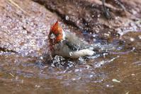 コウカンチョウの水浴び - 近隣の野鳥を探して