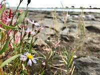 海が好きな花。。。ハマシオン2018 - umi no oto ♪