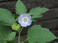 『大千成(オオセンナリ)と冬の花蕨(フユノハナワラビ)と何首烏芋(カシュウイモ)等・・・・・』 - 自然風の自然風だより