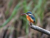 じゅん菜池でカワセミ観察 - コーヒー党の野鳥と自然 パート2