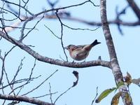渡ってきた冬鳥アトリ - コーヒー党の野鳥と自然 パート2