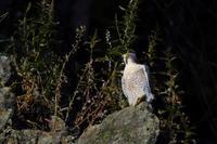 先週のハヤブサ♪ - 北の大地で野鳥ときどきフライフィッシング