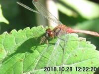 グルメ?ガガンボを食うマユタテアカネ♂ - 権兵衛の蜻蛉雑録