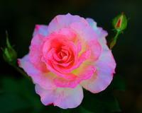 秋晴れの真昼間にバラを撮る - 星の小父さまフォトつづり