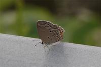 あちこちに - 蝶と蜻蛉の撮影日記