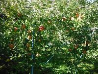 ぶどうの収穫が終わり、りんごの収穫の準備です - 信州ピース&ナチュラルだより