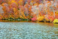 鎌池とブナ林 - くろちゃんの写真