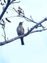 マミチャジナイが群れでいました - コーヒー党の野鳥と自然 パート2