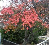 もうすぐ紅葉(黄葉)の季節です - 楽餓鬼