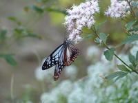 アサギマダラついにやって来た - 蝶のいる風景blog