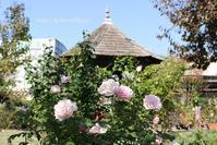 秋バラに魅せられて♪京阪園芸にて - miyorinの秘密のお庭