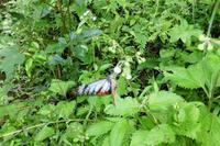 今秋のアサギマダラ - おらんくの自然満喫