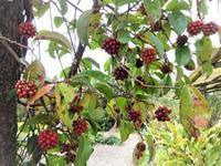 美男葛 - だんご虫の花
