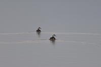 カンムリカイツブリと病気のハシブトガラ~今週のウトナイ湖 - やぁやぁ。