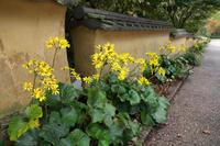 石蕗の路 - 花と風景 Photo blog