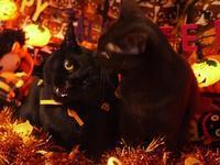 ハロウィン猫 あんしゃぁりぃめりぃぽぴんず編。 - ゆきねこ猫家族