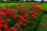 加茂の田んぼを彩る彼岸花(木津川市) - 花景色-K.W.C. PhotoBlog