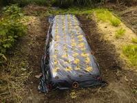 南国早生(玉ねぎ)の苗植えた!・・・古民家畑 - 化学物質過敏症・風のたより2
