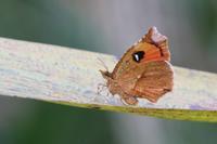10月の蛾から2018 - 公園昆虫記