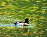 大塩湖で少し早めのカモと紅葉 - 星の小父さまフォトつづり