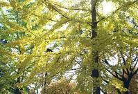 イチョウの黄葉 - 照片画廊